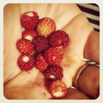 We picked wild strawberries as we walked
