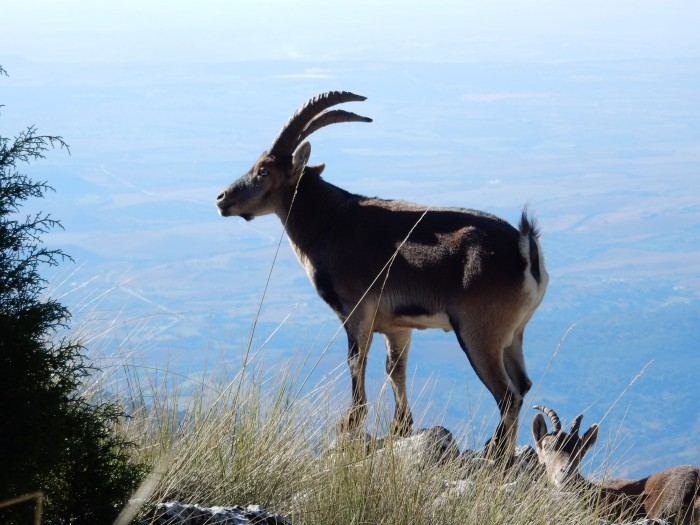 The majestically silent horny ibex.